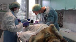 operacja psa